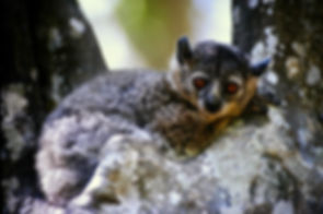 White-footed Sportive Lemur 08, Berenty,