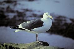 Western Gull 02aa, adult, La Jolla, Cali