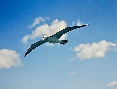 Shy Albatross 43a, Stewart Is NZ, 17-11-