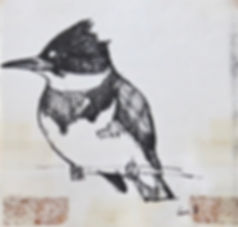 Belted Kingfisher, LAT 01, Camel Valley,