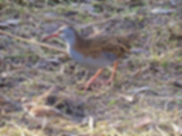 Water Rail 190108-01, Slimbridge.jpg