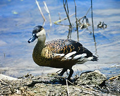 Wandering Whistling Duck 01a, Australia,