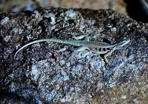 Madagascar Spiny-tailed Iguana 03a, Mada