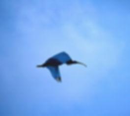 White Ibis 07b, Carolina, 24-10-87.jpg