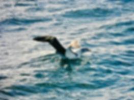 Shy Albatross 27a, Stewart Is NZ, 17-11-