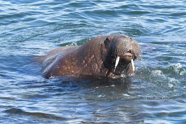 Walrus, Tenby, 14-4-21, Photo by Mark Co