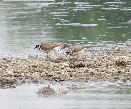 Little Ringed Plovers 01, Slimbridge, 24