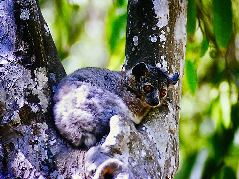 White-footed Sportive Lemur 03, Berenty,
