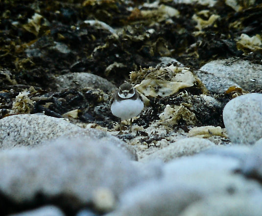 Semipalmated Plover 01a, St Agnes, 13-10