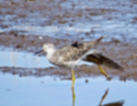 Lesser Yellowlegs 190326-04, Lodmoor.jpg