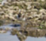 Little Ringed Plover 18913-09, juv, Slim