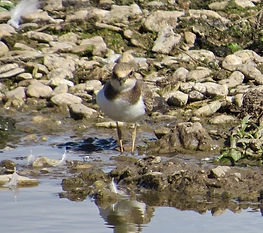 Little Ringed Plover 18913-09, juv, Slim