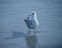 Ring-billed Gull 04a, Carolina, 31-10-87