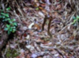 Madagascar Yellow-striped Water Snake 01