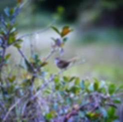 Grey Emu-tail 01a, Ranomafana, Madagasca