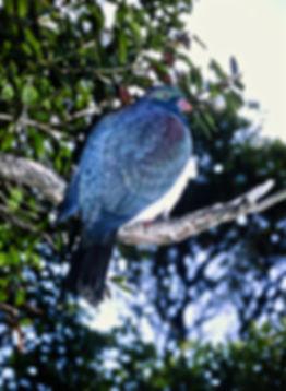 New Zealand Pigeon 04a, Stewart Is, 11_9