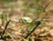 Common Tree Frog 01a, Turkey, 9_82.jpg