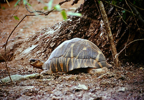 Radiated Tortoise 01a, Berenty, Madagasc