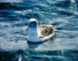 Shy Albatross 15a, Stewart Is NZ, 17-11-