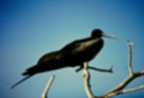 Magnificent Frigatebird 03a, female, Nor