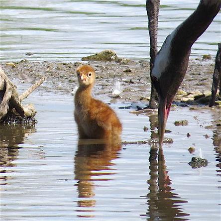 Common Crane chick 180601-7, Slimbridge,