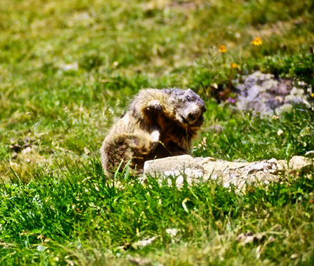 Alpine Marmot 03a, Italy, 8_97.jpg