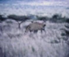 Common Zebra 03a, Kenya, 12_88.jpg