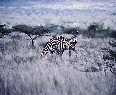 Common Zebra 03a, Kenya, 12_88.jpg