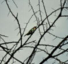 Didric Cuckoo 01a, Kenya, 12_88.jpg