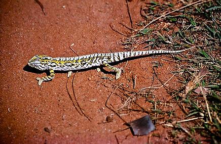 Jewel or Carpet Chameleon 07a, Madagasca