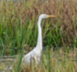 Great White Egret 191022-01, Catcott Low