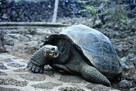Giant Tortoise 02a, Galapagos, 7_86.jpg