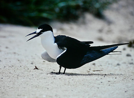 Sooty Tern 05a, Michaelmas Cay, Aust, 18