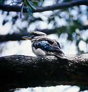 Laughing Kookaburra 02a, NSW, Oz, 4-12-9