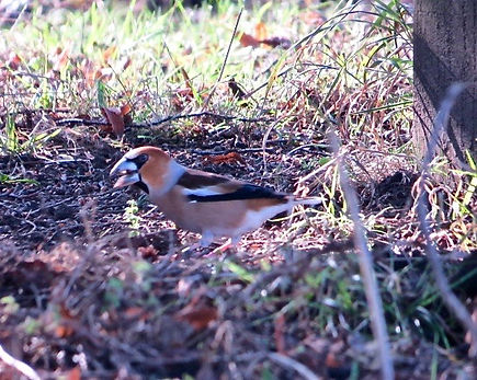 Hawfinch 190215-02, female, Forest of De