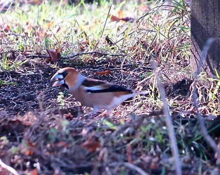 Hawfinch 190215-02, female, Forest of De