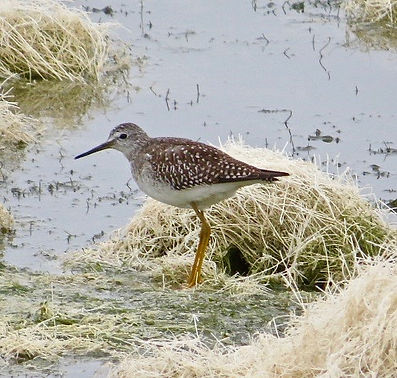 Lesser Yellowlegs 118a, Cheddar Res, 29_