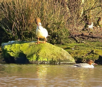 Goosander 190215-05, Forest of Dean.jpg