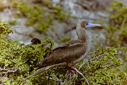 Red-footed Booby 12a, Tower, Galapagos,