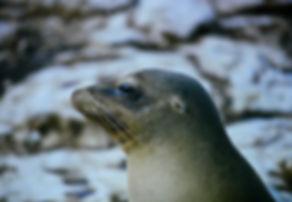 Galapagos Sea Lion 05a, Galapagos, 26_7_