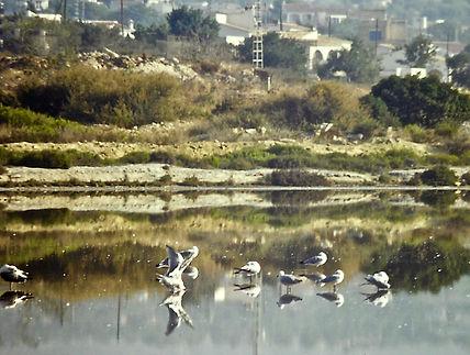 Audouin's Gull 01a, Calpe, Spain, 12-9-8