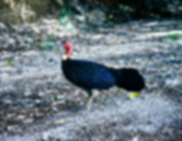 Australian Brush-Turkey 01a, Queensland,