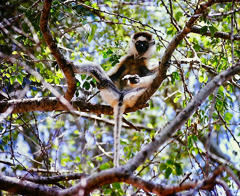 Verreaux's Sifaka 07a, Berenty, Madagasc