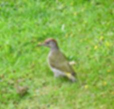 Green Woodpecker, Elm Lodge, 11_8_19 13.