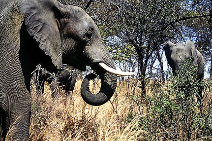 African Elephant 31a, Zimbabwe, 9_98.jpg