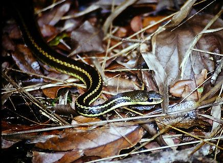 Madagascar Yellow-striped Water Snake 03