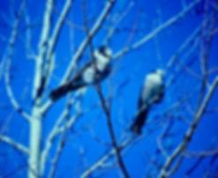 Gray Jay 01a, Algonquin, 11_87.jpg
