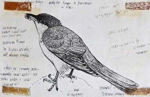 Yellow-billed Cuckoo, LAT 04, St Agnes,