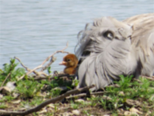 Common Crane chick 180601-1, Slimbridge,