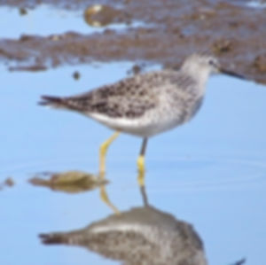 Lesser Yellowlegs 190326-13, Lodmoor.jpg